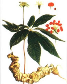 Sâm Ngọc Linh-thuốc Rất quý hiếm-bồi bổ tốt cho sức khỏe, giá rẻ