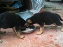 Tp. Hà Nội: Cần bán đàn chó becgie 2 tháng tuổi. CL1218302