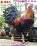 Tp. Hồ Chí Minh: Bán gà Mỹ rặt dòng HATCH - gà điều xanh chân xanh - gà nòi 2013 CL1217722