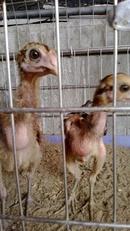 Tp. Hà Nội: Gà chọi Bán 3 con gà chọi con tại Hà Nội ca long inon .tat ca 500. 000 nhe CL1217722