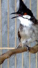 Tp. Hà Nội: chim hue mo dep dep CL1217700