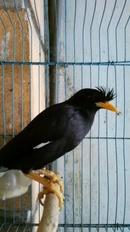 Tp. Hà Nội: Bán chim sáo đen biết nói tha ra ko bay chi bay o trong nha thoi cac ban nhe CL1217722