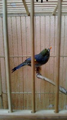 Chim Quế Lâm hót 300 ca long cac ban nhe