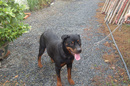 Tp. Hồ Chí Minh: bán chó Rottweiler gồm một chó mẹ và ba con chó con tám tháng tuổi thuần chủng CL1218842