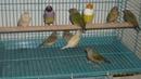 Kiên Giang: Chim bảy màu cần thơ CL1409010P2