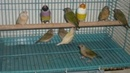 Bạc Liêu: Chim bảy mau . CAT236_238_244P7