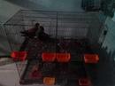 Tp. Hồ Chí Minh: Lê Hoàng Cung Cấp Chim Bồ Câu CL1409010P2