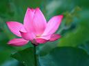 Tp. Hồ Chí Minh: Cung cấp hoa sen tươi với nhiều mẫu kết hợp CL1218919