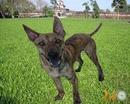 Tp. Hồ Chí Minh: Phối giống chó Phú Quốc - 0902031178 CL1293206