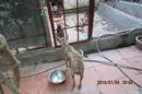 Tp. Hà Nội: chó phú quốc thuần chủng tai miền bắc CL1218302