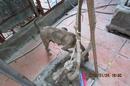 Tp. Hà Nội: chó phú quốc ở hà nội CL1218302