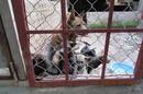 Tp. Hà Nội: chó phú quốc thuần chủng ở hà nội CL1186699