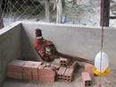 Tp. Hồ Chí Minh: Chim trĩ đỏ CL1389056