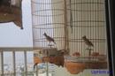 Phú Yên: chim son ca da hot can lua, len cau vua mua vua hot CL1409010P2