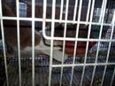 Bình Phước: Bình Phước - Đồng Xoài bán Bồ câu Pháp CL1389056