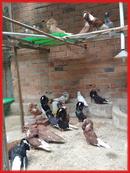 Tp. Hồ Chí Minh: Bán bồ câu sư tử đẻ - Bồ câu giá tốt CL1389056