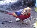 An Giang: Chim trĩ đỏ An Giang CL1389056