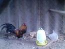 An Giang: Chim trĩ 7 màu đỏ CL1389056