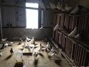 Tp. Hà Nội: Bán đàn 80 cặp chim bồ câu Pháp ( thuần chủng ) CAT236_238_244P4