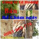 Tp. Hồ Chí Minh: Rể Khô cây Chùm ngây CL1106082P10