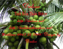 Tp. Hồ Chí Minh: Tinh dầu dừa CL1379710P3