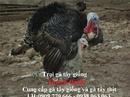Tp. Hồ Chí Minh: Cung cấp giống Gà Tây (gà lôi) tốt nhất cho bà con gần xa CL1514442