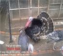 Tp. Hồ Chí Minh: Cung cấp gà tây giống và gà tây thịt cho quán ăn nhà hàng tại tphcm CL1218668