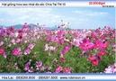 Tp. Hồ Chí Minh: Hạt giống hoa sao nhái đa sắc Chia Tai TN 10 Nguyễn Văn Tới CL1409978