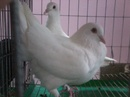 Tp. Hồ Chí Minh: Cung cấp bồ câu giống loại 1-Bà Điểm_Hóc Môn CAT236_238_244P4