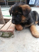 Tp. Hà Nội: Hà nội Bán đàn chó Becgie nhỏ (GSD) đức, thuần chủng, bố mẹ nhập ngoại CL1164609