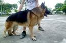 Tp. Hà Nội: Website Trại chó Hoàng Minh đã chính thức đi vào hoạt động với 2 tên miền chính: CL1164609
