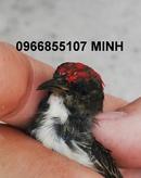 Tp. Hồ Chí Minh: Chim ốc mít chuyền trống, tơ, thuộc & lồng chim ốc mít chạm, trơn tre già CAT236_238_244P3
