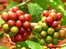 Tp. Hồ Chí Minh: Tìm đại lí, tạp hóa, bán buôn, bán lẻ cà phê hạt và bột giá rẻ chất lượng cao CL1487791P9