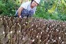Đồng Nai: Mua bán , cung cấp cây Đinh Lăng , bao tiêu sản phẩm ! CL1486738
