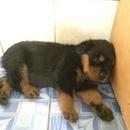 Tp. Hồ Chí Minh: HCM Bán Bầy Chó Rottweiler Con Thần Thú CL1517956