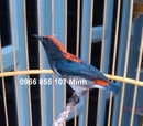 Tp. Hồ Chí Minh: chim ốc mít chuyền trống và lồng chim ốc mít trơn chạm bao đẹp CL1685797