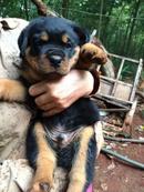 Bình Phước: Bình Phước Bán Bầy Rottweiler Con Hoang Dã - Trung Thành CL1517956