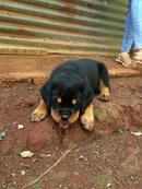 Tp. Hồ Chí Minh: Bán Chó Rottweiler 2 Tháng Tuổi Bình Phước CL1517956