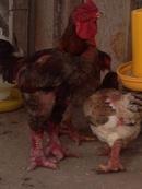 Tp. Cần Thơ: Cung Cấp Gà Đông Tảo Giống, Thịt Và Gà Biếu CL1218668