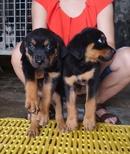 Tp. Hà Nội: bán đàn rottweiler 2 tháng tuổi CL1687923