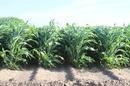 Tp. Hồ Chí Minh: Hạt giống cỏ bắp, hạt giống cỏ cao lương siêu đạm siêu năng suất nhập từ MỸ CL1591344P6