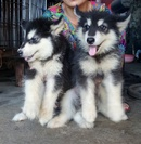 Tp. Hà Nội: bán đàn alaska 2 tháng tuổi thuần chủng CL1680403