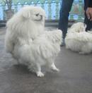 Tp. Hà Nội: Nhận phối giống chó Bắc Kinh chuẩn CL1691005