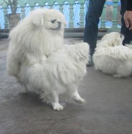Nhận phối giống chó Bắc Kinh chuẩn