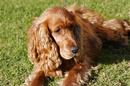 Tp. Hà Nội: Nhận phối giống chó Tây Ban Nha (CockerSpaniel) CL1689916