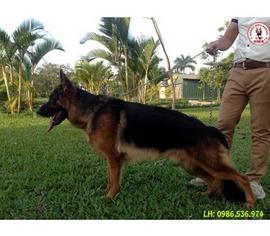 Chuyên nhận phối giống chó becgie đức (GSD) Toàn khu vực miền bắc