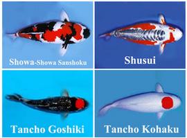 Vì sao cá chép Koi được xem là cá cảnh thân thiện nhất?