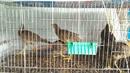 Bình Dương: chim trĩ 7 màu , chim trĩ thịt , gà cảnh CL1685797