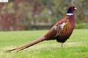 Đồng Tháp: Bán chim trĩ đỏ, trĩ xanh tại Đồng Tháp CL1689707
