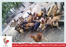 Tp. Hồ Chí Minh: Gà ta thả vườn cung cấp tận nơi trên TPHCM bởi datgata. vn CL1597847